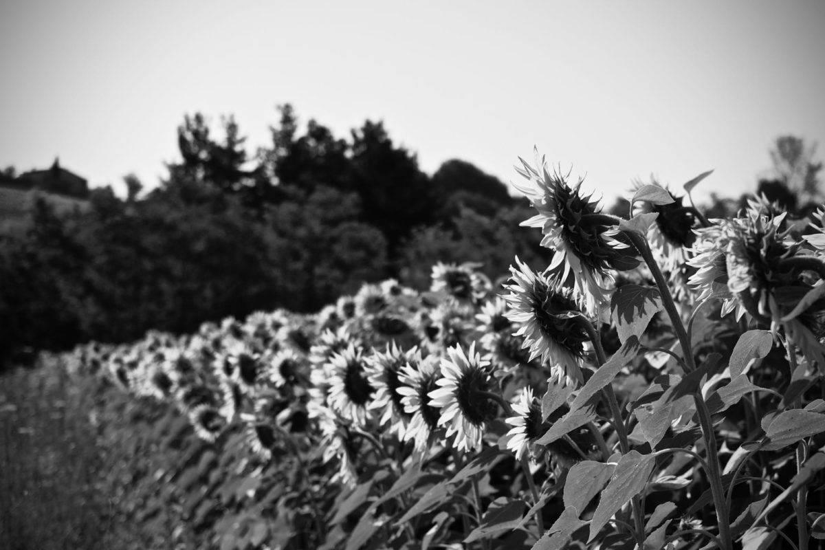 Sunflower Massimiliano Scarpa photographer